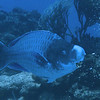 A giant blue parrotfish - was over three feet long and HUGE.