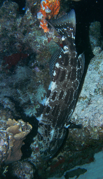 A goliath grouper sleeps vertically in a reef crevice during our night dive - he was about five feet long.