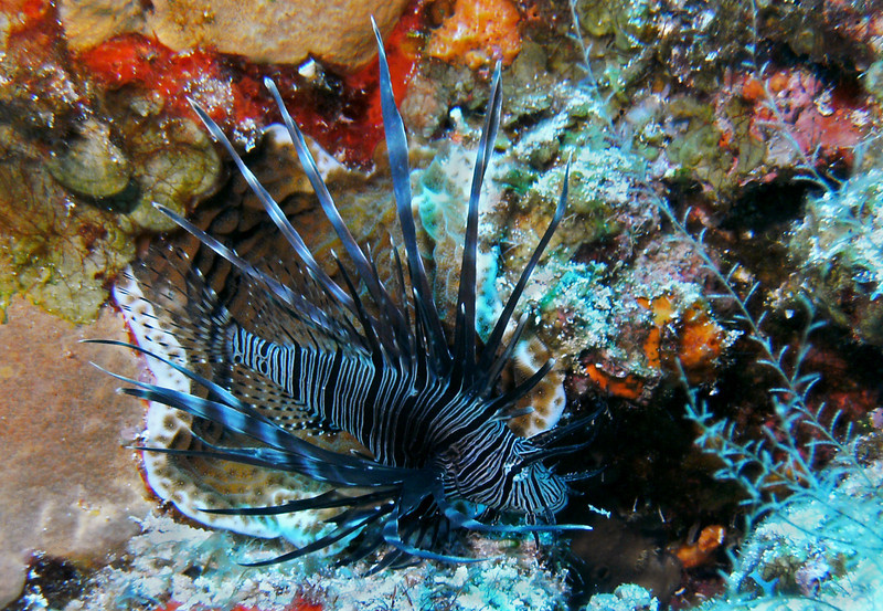 I find a lionfish and take a photo before the dive master captures it. Beautiful, but so deadly to the Caribbean reef eco-system.