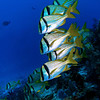 A school of porkfish, just hanging around.
