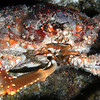A giant crab feeds himself during our night dive.