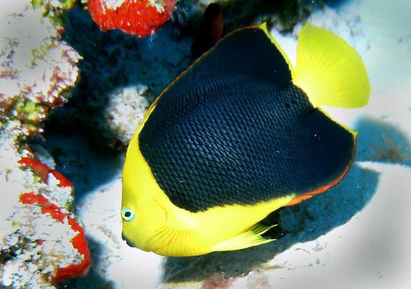 Rock Beauty fish