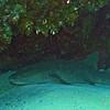 Nurse shark resting under the reef.