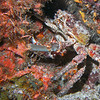 King crab - master of camoflage.
