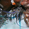 Spiny lobster.