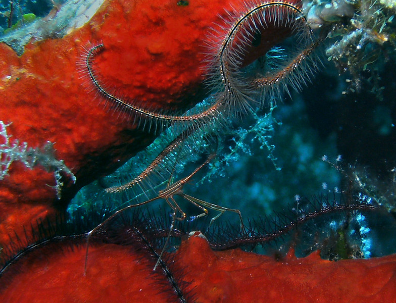 The railing was encrusted with orange sponge and the home to many brittle stars and arrow crabs.