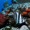 Banded butterflyfish.