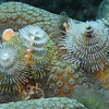 Christmas tree worms on coral.