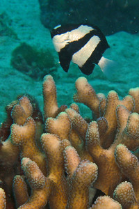 A Humbug Damselfish hovers over the coral.