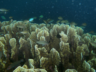 Mountains of lettuce coral, all in pristine conditions.