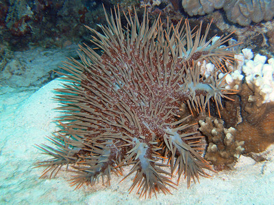 Crown of Thorns Starfish - highly poisonous. One prick of the thorns can give pain for years. These starfish are periodically hunted and killed for the extreme damage they do to the reefs - killing everything they crawl over.