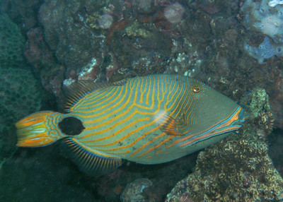 Large, colorful triggerfish.