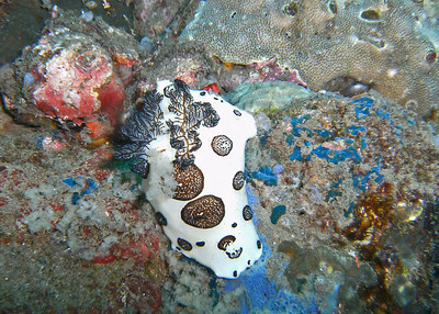 White and black nudibranch.