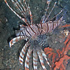 Lionfish - poisonous, deadly and destructive to reef life. They are everywhere we look.