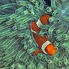 """Classic """"Nemo"""" - an anenome fish."""