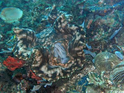 Giant clam, feeding.