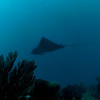 The wreck's resident eagle ray and his ever present remora.