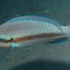 Parrotfish?