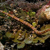 Small finned pipefish.