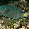 Stoplight parrotfish resting on the reef.