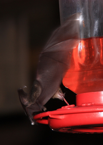 Halloween! Very appropriate the bats showed up to steal from the hummingbird feeders. There were swarms of them!
