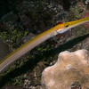 Yellow trumpet fish.