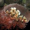 Lettuce coral in sponge.