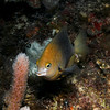 Bicolor damselfish vigorously defends its patch of reef.