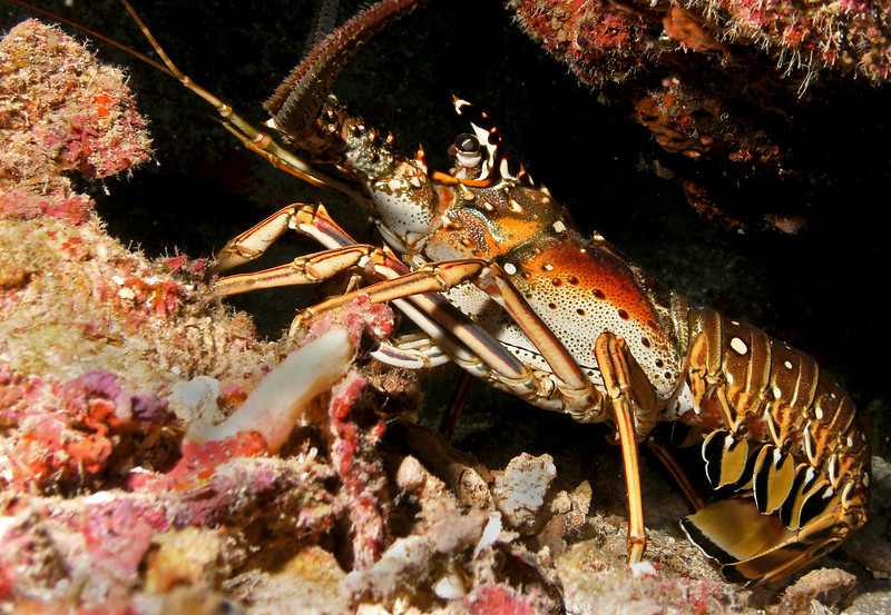 Spiny lobster - I like that you can see his tail.