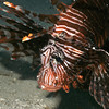Another beautiful, deadly, lionfish.
