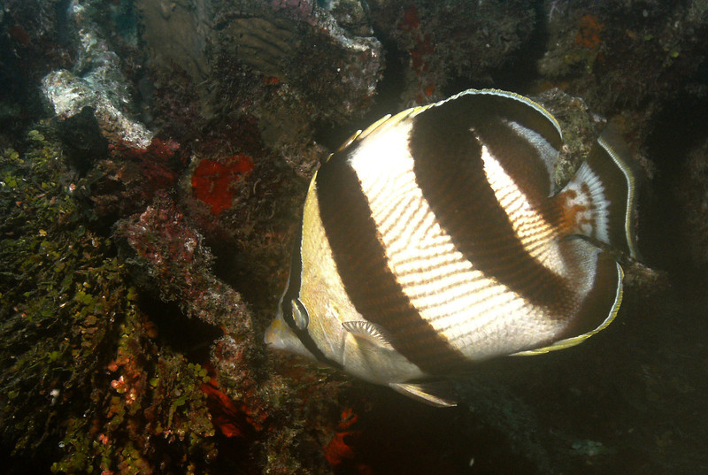 Banded butterfly fish.