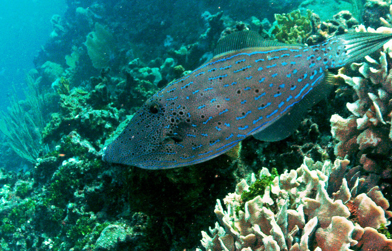 This was a very large scrawled filefish - at least 18 inches.