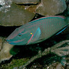 Stoplight parrotfish.