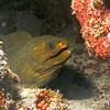Green moray eel.