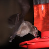 More bats!
