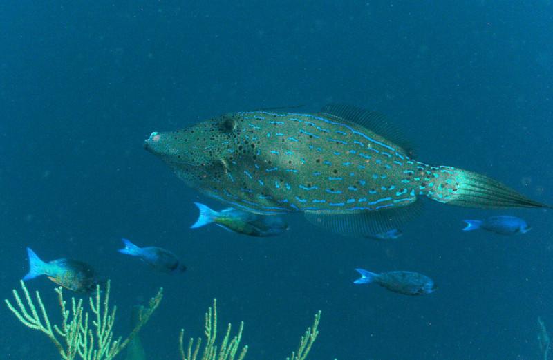 Scrawled filefish.