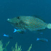Scrawled filefish.