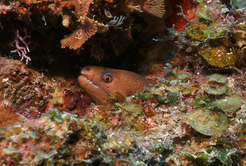 Baby golden eel - very shy.