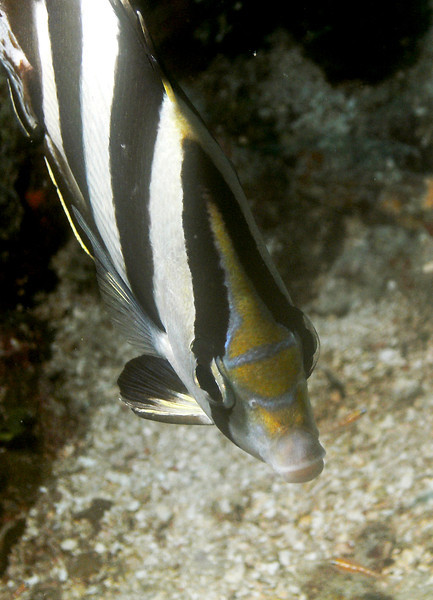 Banded butterflyfish face.