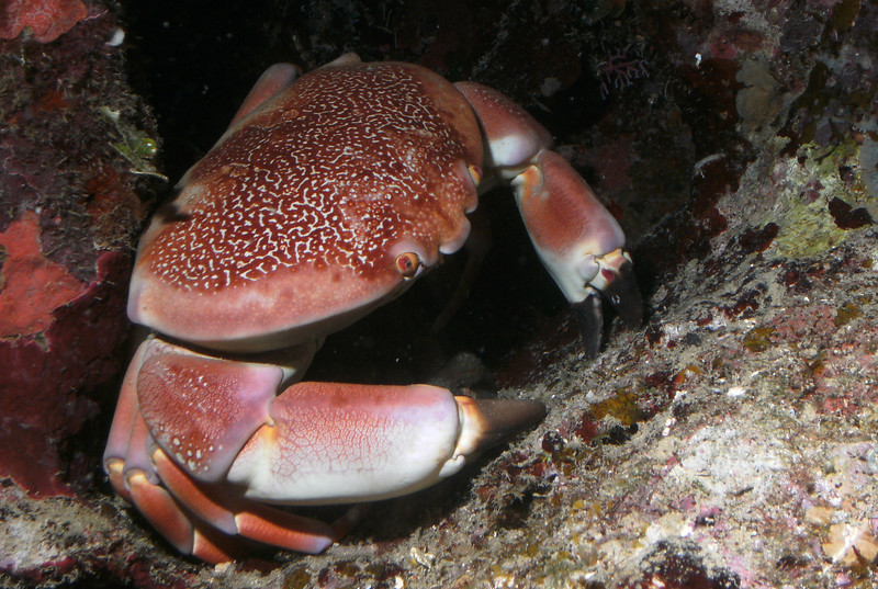 Batwing coral crab - yes it is.