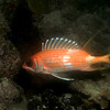 Squirrel! Squirrelfish that is.