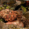 Scorpion fish, well concealed.