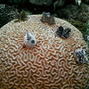 Christmas tree worms on brain coral.