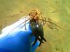 Beady eyed Cray Fish!