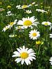Hillsides of beautiful daisies!