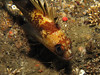 (Need ID - maybe Sebastes maliger (Quillback Rockfish))