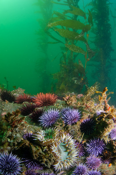 Purple and red sea urchins, green anemones.