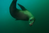 Sea lion doing corkscrew maneuver...
