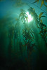 Giant kelp forest.