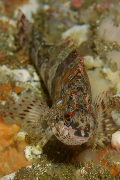 Painted Greenling.